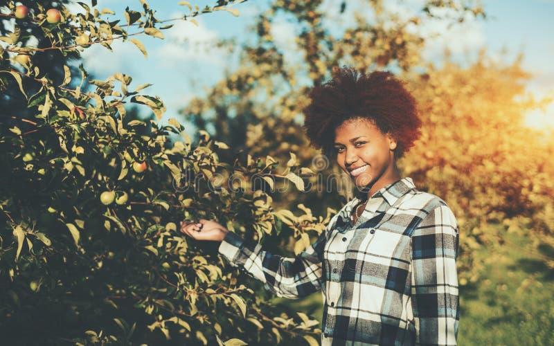 Krullende zwarte meisje het plukken appel van boom stock afbeelding