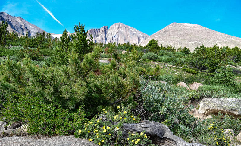 Krummholz Forest Along the Longs Peak Trail royalty free stock photography