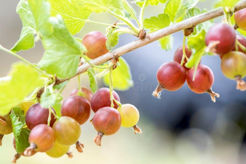 krusbär på trädet fotografering för bildbyråer