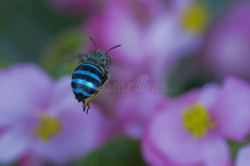 Kruszcowy Pasiasty insekt lata w kierunku kwiatów zdjęcia royalty free