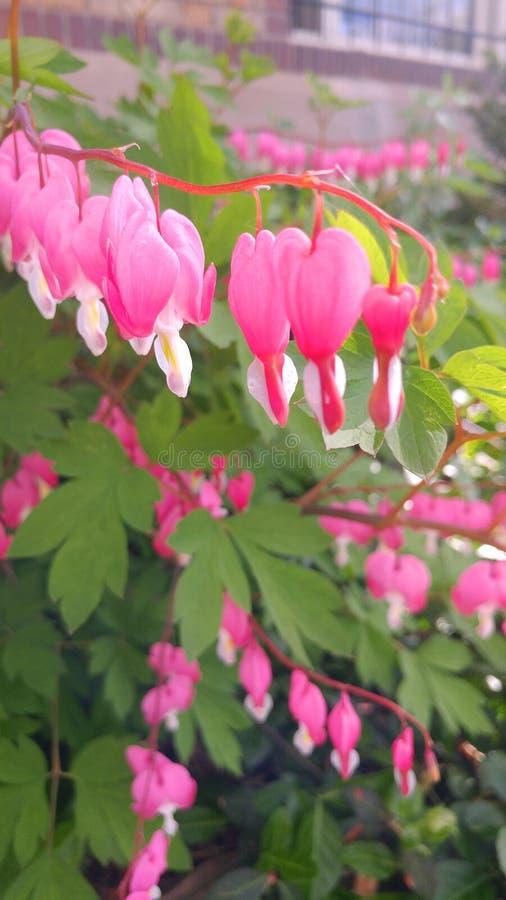 Krwawiącego serca kwiaty fotografia stock
