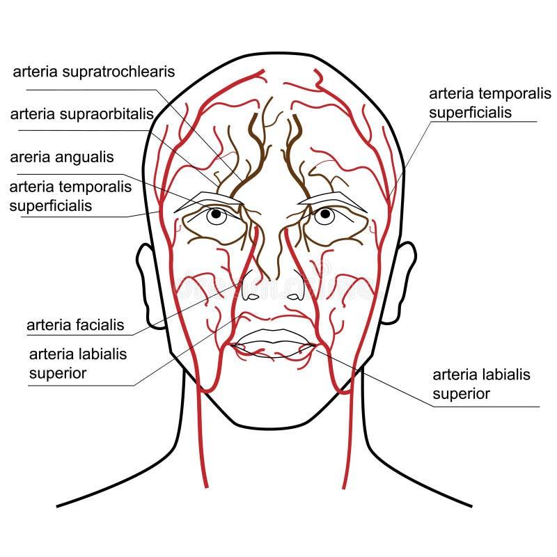 Krwionośna dostawa głowa ilustracji