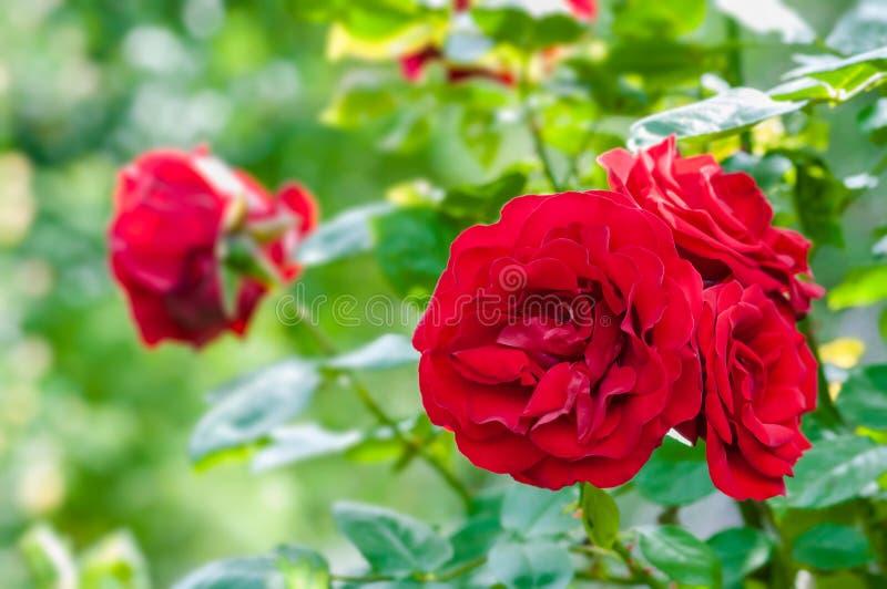 Krwionośne czerwone róże w ogrodowej rośliny horticulture hodowlanej wiązce kwiaty zdjęcie royalty free