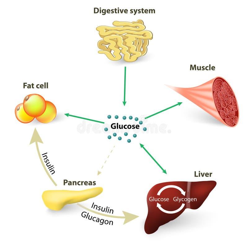 Krwionośny cukier, glikoza lub insulina ilustracji