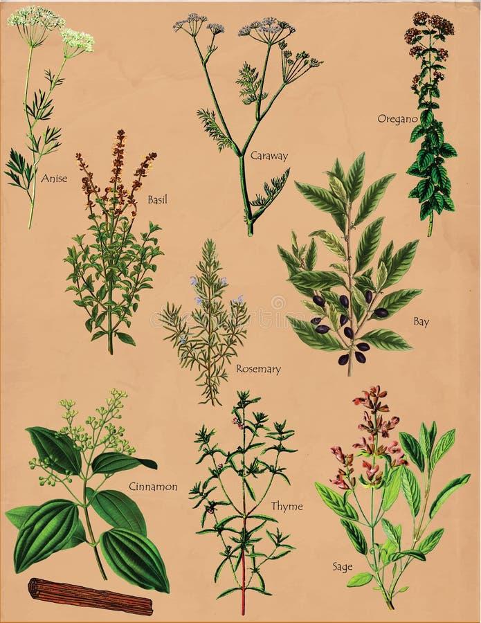 Kryddaväxtkryddor royaltyfri illustrationer