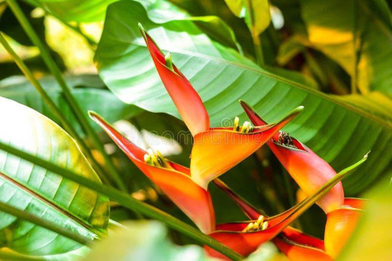 Kryddig Heliconia blomma arkivfoton