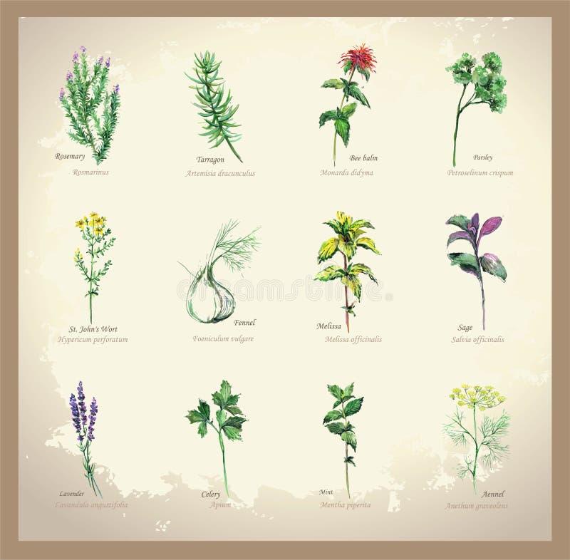 Kryddiga och läkande örter för illustration vektor illustrationer