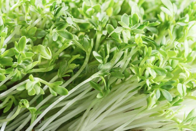 Kryddkrasse-sallad groddar nya gröna örtar sund mat royaltyfri fotografi