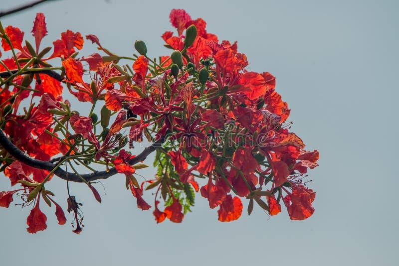 Kryddnejlika (Syzygiumaromaticum) royaltyfri fotografi
