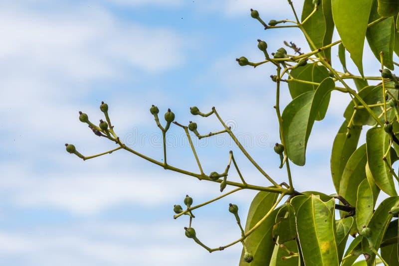 Kryddnejlikor på tree arkivbilder