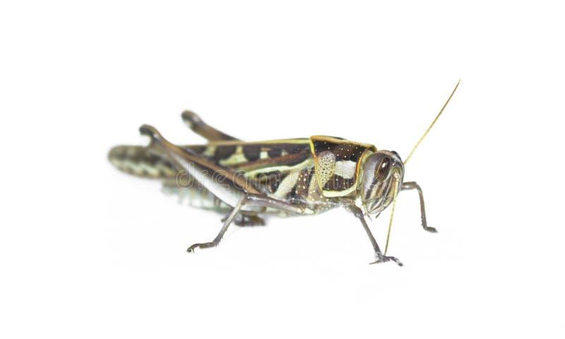 Krykieta insekt zdjęcia stock