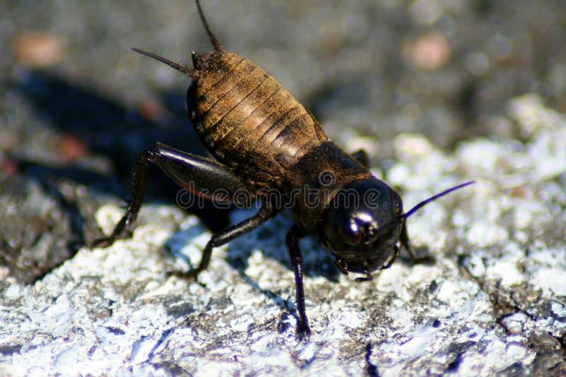 Krykieta insekta cykada na skale fotografia stock