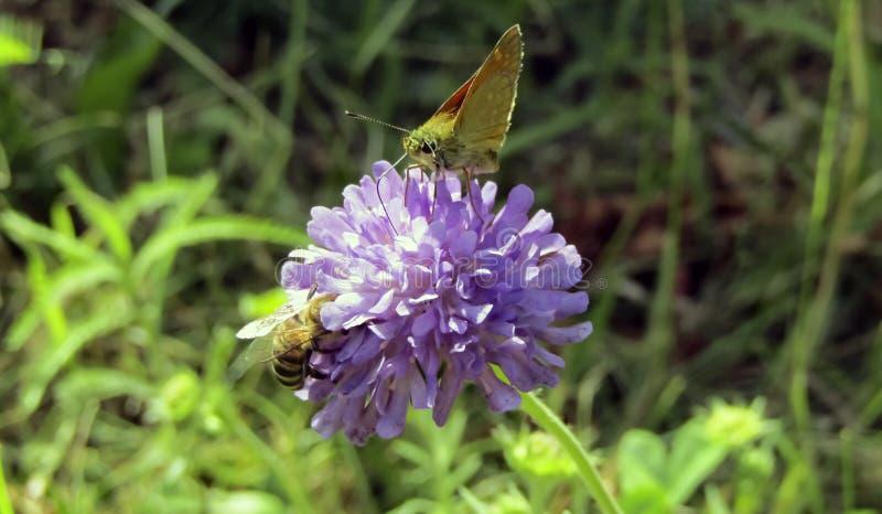 Kryp bi och fjäril pollinerar tillsammans en ljus rosa blomma Processen av pollination fotografering för bildbyråer