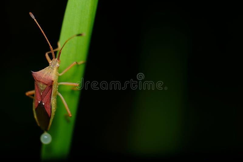 Kryp & x28; Coreidae& x29; arkivfoton