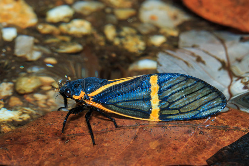 Kryp för cikada (becquartinaelecta) royaltyfria foton