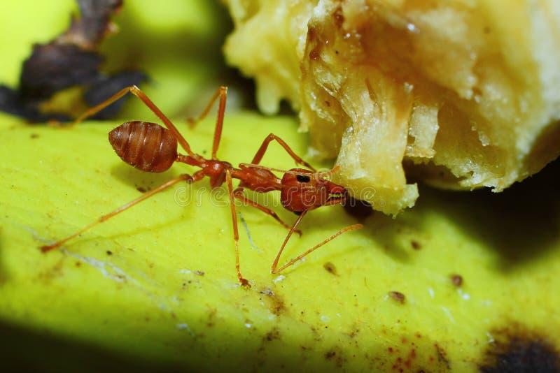 Kryp myror arkivfoto