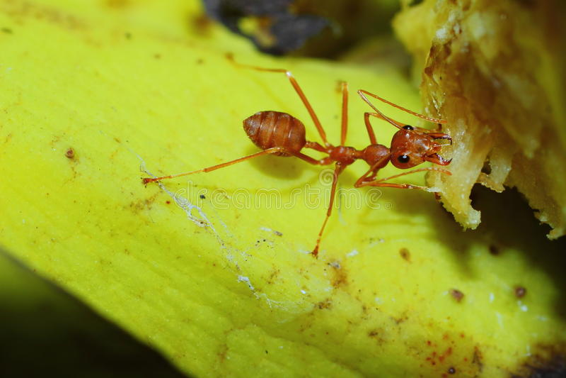 Kryp myror fotografering för bildbyråer