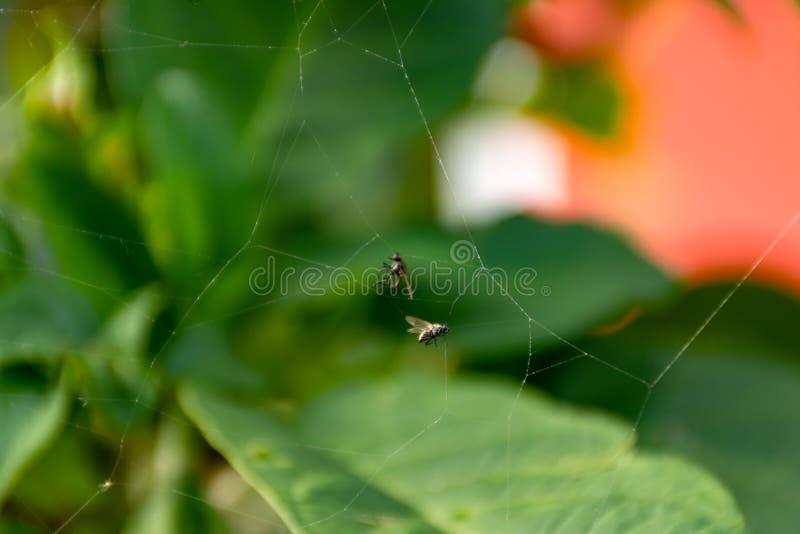 Kryp som fångas på en spindelrengöringsduk royaltyfria foton