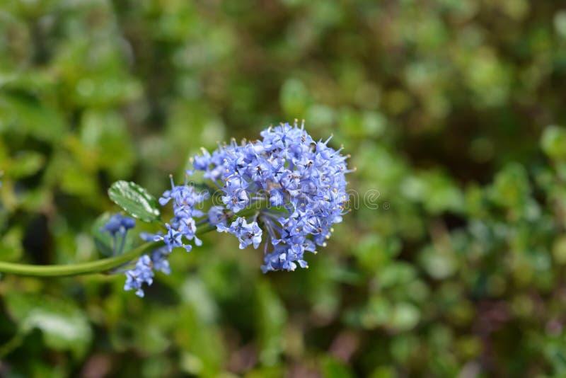 Krypa den bl?a blomningen fotografering för bildbyråer