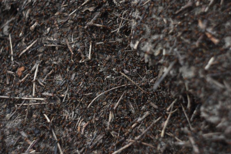 krypa för myrstackmyror arkivbild