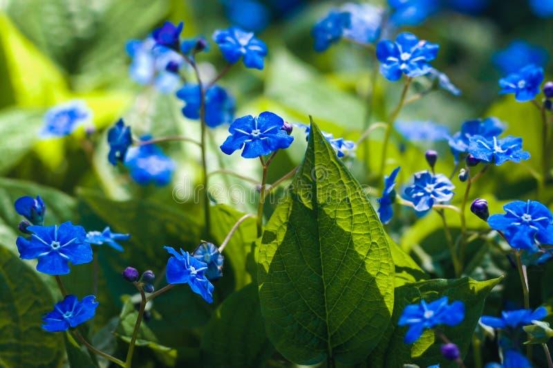 Krypa navelwortblommor i trädgård arkivbilder