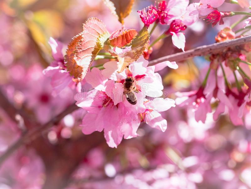 Krypbiet flög till filialen av körsbärsröda blomningar som samlar nektar arkivbilder