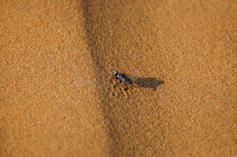 Krypfluga som sitter på sand arkivfoto