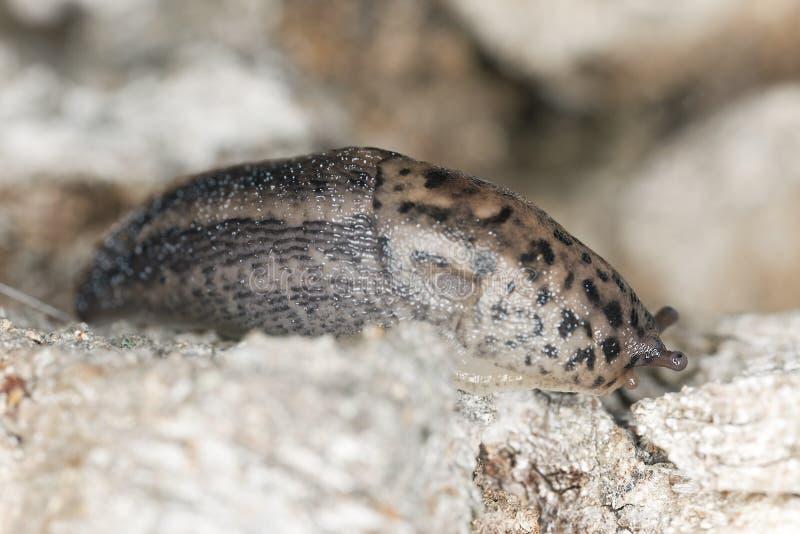 Krypning för Leopardkula (Limaxmaxius) på trä royaltyfri fotografi