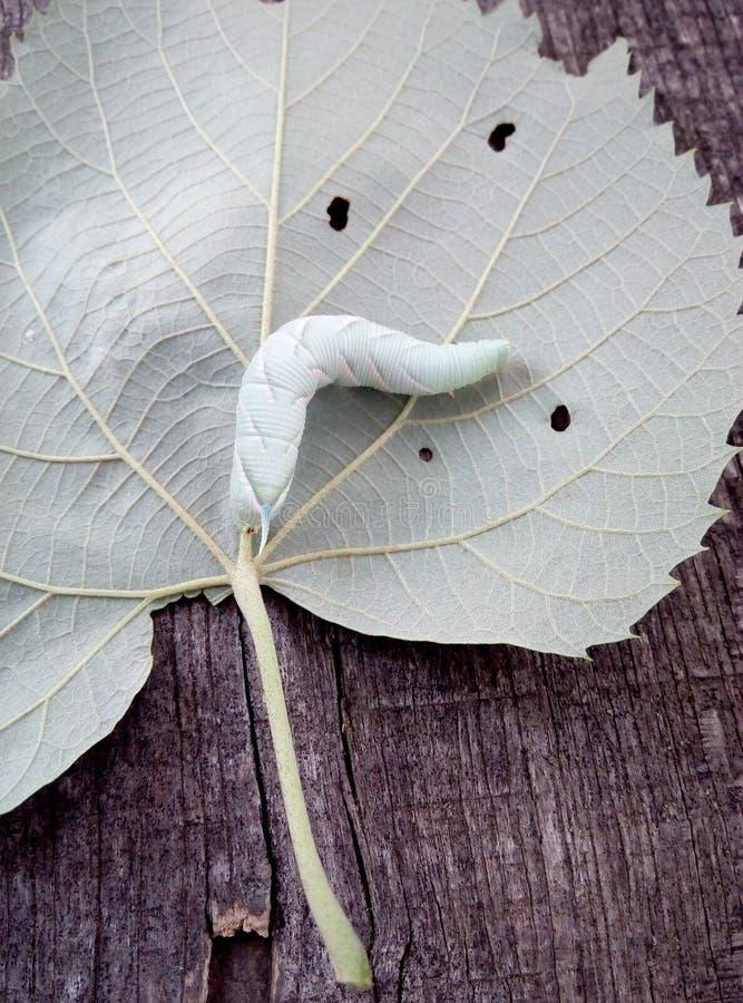 Krypning för Smerinthus caecuslarv på bladet arkivfoto