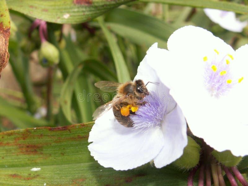 Krypvärld - honungbi under att samla pollen på olika blommor arkivfoton