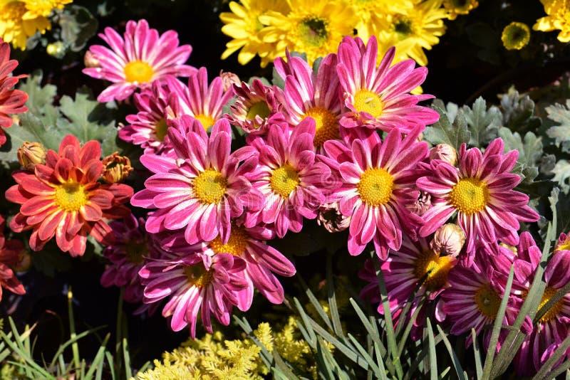 Download Krysantemum fotografering för bildbyråer. Bild av brigham - 37349153