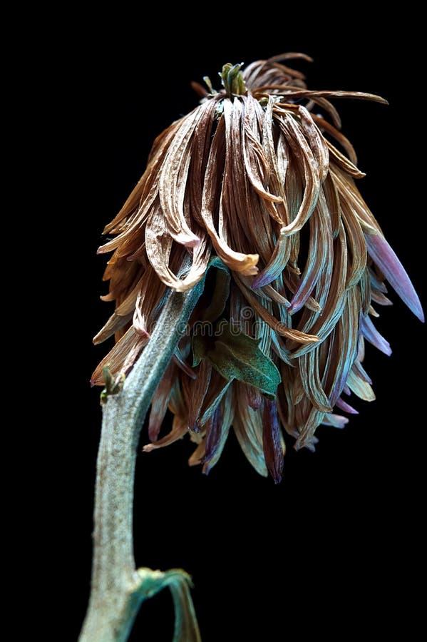 Krysantemum av gammal det sublimt royaltyfri bild