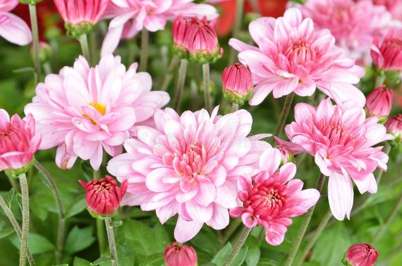 Krysantemum DOF royaltyfria bilder