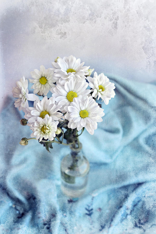 Krysantemum för vita blommor på bakgrund av den blåa filten royaltyfria bilder