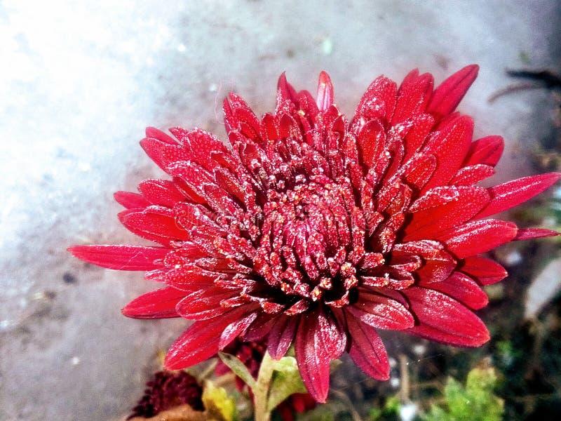 Krysantemumblomma i vintrar royaltyfria foton