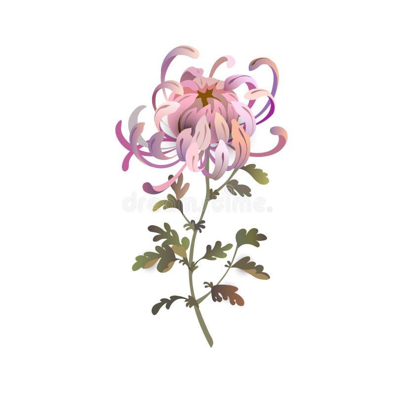 Krysantemumblomma illustration för design för bakgrundbakgrundskort blom- Rosa krysantemumillustration vektor illustrationer
