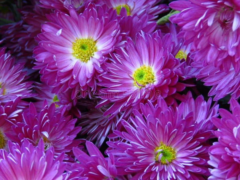 Krysantemumet blommar buketten Härlig violett vit och gul höstträdgårdblomma royaltyfria bilder