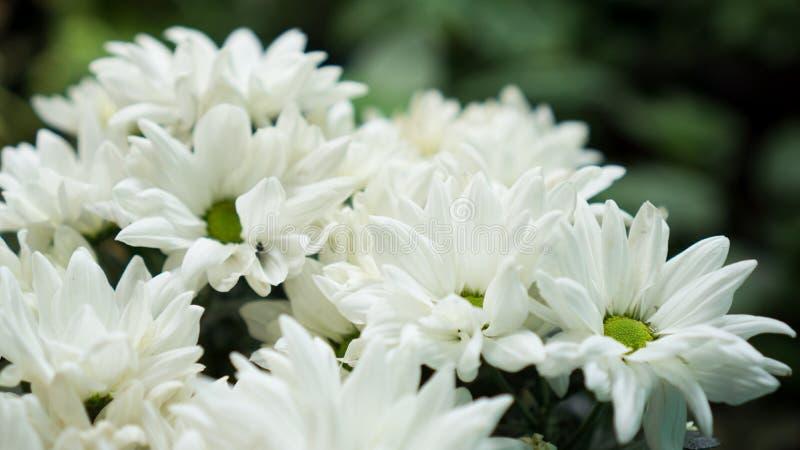 Krysantemumet i blom royaltyfria foton