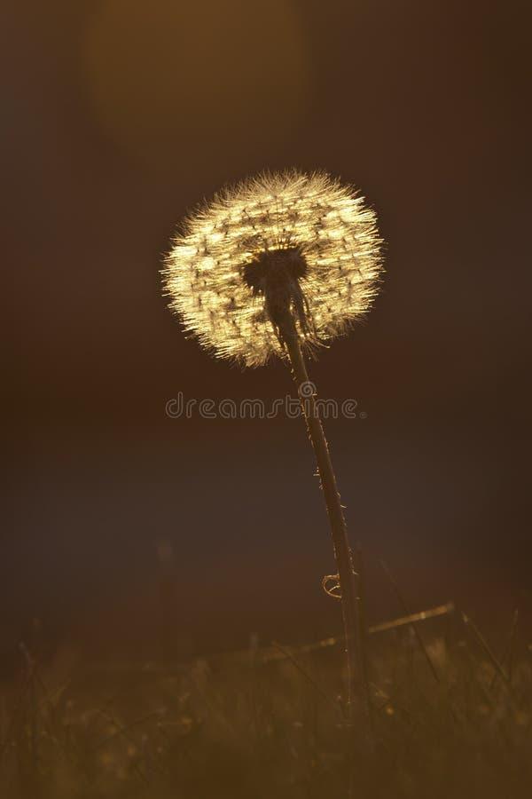 Krystaliczny Dandelion zdjęcie royalty free