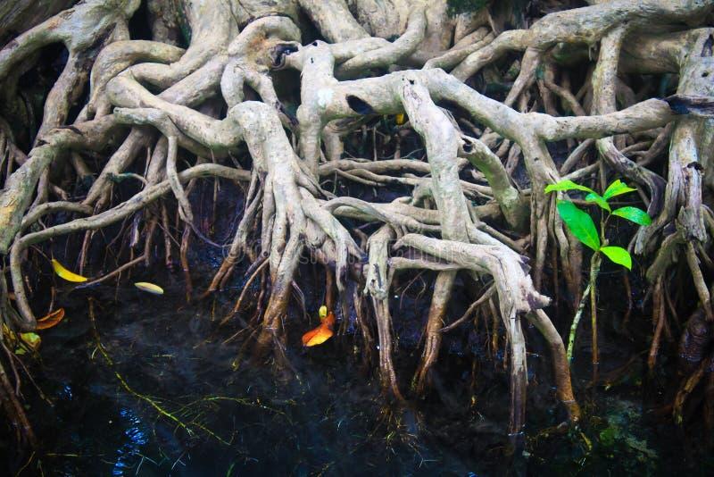 Krystaliczny strumień namorzynowy las i, Krabi zdjęcie stock