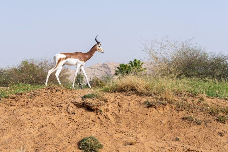 Krytycznie endagered Sahara Afryka mieszkaniec Dama lub Mhorr gazela przy Al Ain zoo Nanger dama mhorr odprowadzeniem obok, fotografia stock