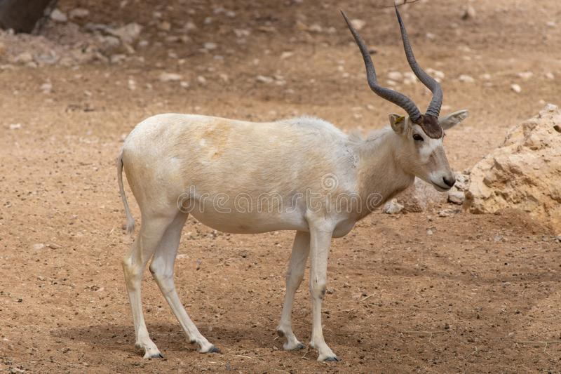 Krytycznie zagrażający Addax Addax nasomaculatus także znać jako biała antylopa lub screwhorn obrazy stock