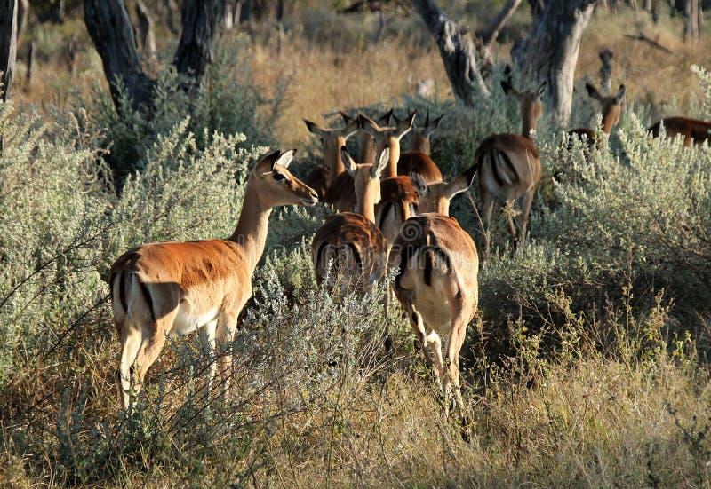 krzaków impalas obrazy stock