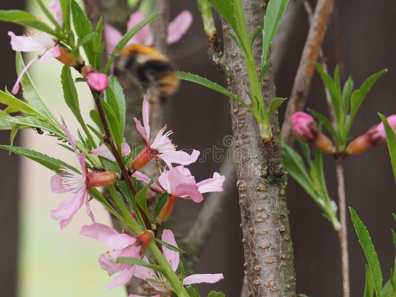 Krzaków migdały kwitnie z różowymi kwiatami obrazy royalty free