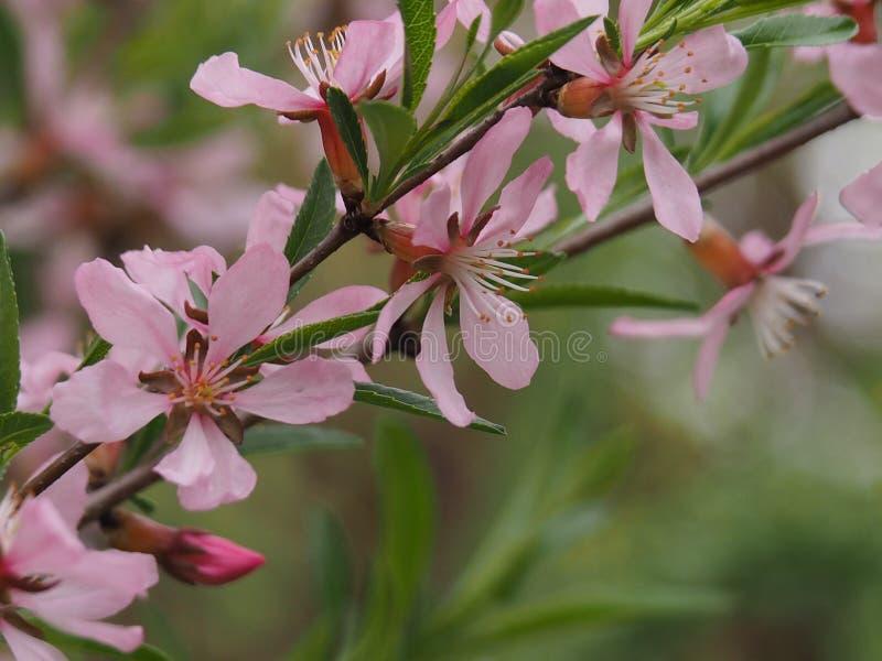 Krzaków migdały kwitnie z różowymi kwiatami zdjęcie stock