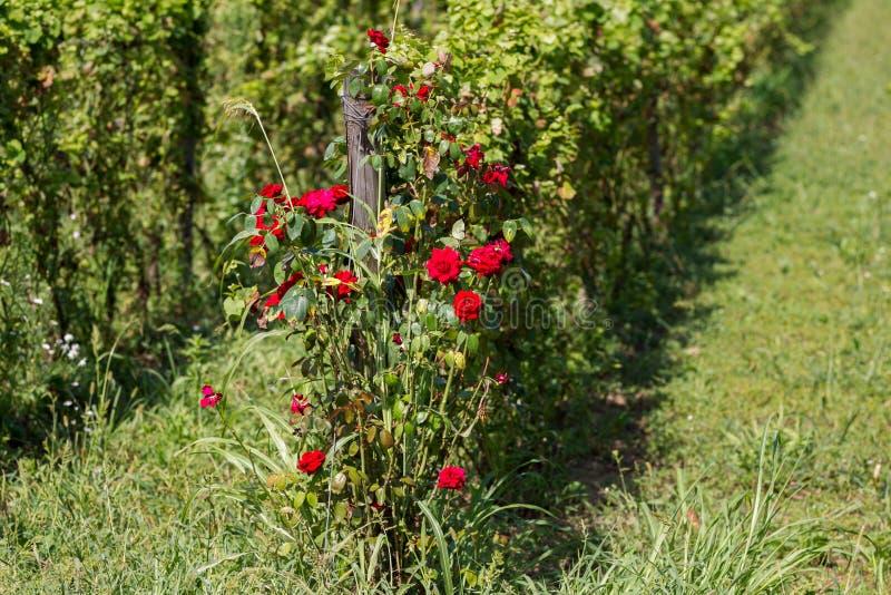 krzak czerwona róża zdjęcie royalty free