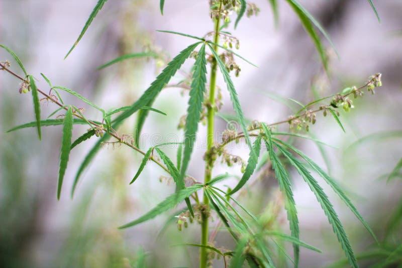 krzak dzika kwitnąca marihuana obrazy stock