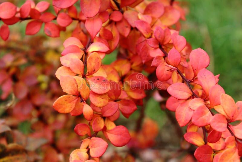 Krzak jesieni ciernie, czerwoni liście, jaskrawy pomarańczowy zimno chmurzą spokojnego piękno obrazy stock