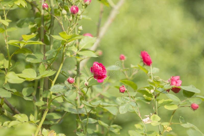 Krzak róż menchie różowy kwiat ogrodowe zdjęcia stock