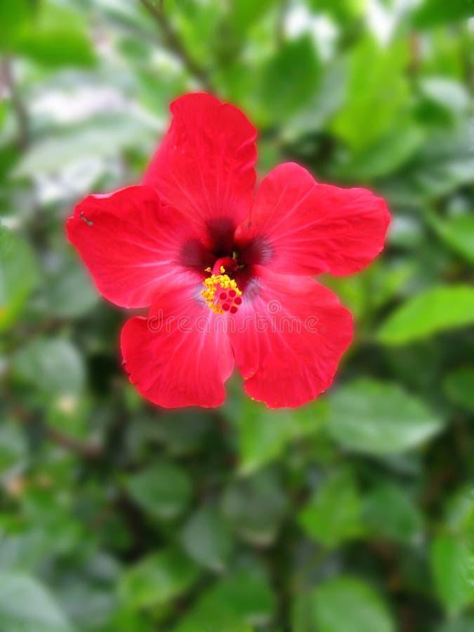 krzaka akacjowy kwiat obrazy stock